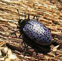 beetle - Gibbifer californicus