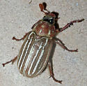 Lined June Beetle - Polyphylla
