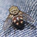 Diptera - Peleteria