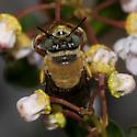 Bee ZH3Z9851 - Centris errans