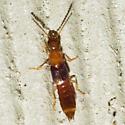 Large Rove Beetle - Neobisnius