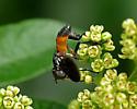Large Hoverfly? - Trichopoda