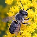 Megachile - Megachile mendica