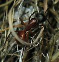ant - Camponotus semitestaceus - female