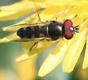 Platycheirus perhaps? - Platycheirus - male