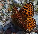Butterfly - Speyeria