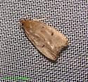 Moth 2007 june 1w - Machimia tentoriferella