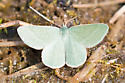green moth - Mesothea incertata