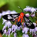 Scarlet-bodied Wasp Moth  - Cosmosoma myrodora