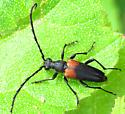 Longhorn beetle - Stictoleptura canadensis