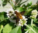 Fly species? - Chrysanthrax cypris