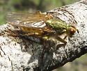 Scathophaga sp.? - Scathophaga stercoraria