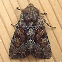 Noctuidae: Apamea amputatrix - Apamea sora