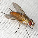 Tachinid Fly - Leskia