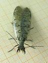 Eastern Dobsonfly - Corydalus cornutus - female