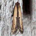 Micro Moth - Elasmopalpus lignosellus