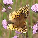Great Spangled Fritillary - Speyeria cybele - female