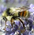 Yellow & orange bumblebee  - Bombus melanopygus - male
