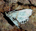 unknown white moth - Petrophila