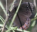 Satyr - Gyrocheilus patrobas