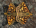 mating butterflies - Carterocephalus palaemon - male - female