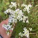 bugs on pycnanthemum tenuifolium south Louisiana - Typocerus