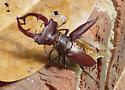 Giant stag beetle - Lucanus elaphus