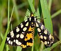 Platyprepia virginalis - Ranchman's Tiger Moth? - Arctia virginalis