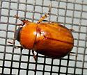 Insect 8 - Cyclocephala