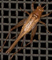 Brown Cricket - Anaxipha