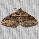 Bent-line Carpet Moth - Costaconvexa centrostrigaria