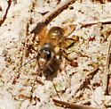 Furry Bee - Osmia taurus