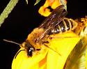 Andrenidae? - Andrena