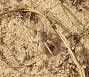 Wolf Spider - Geolycosa wrighti