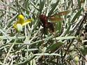 Large Wasp or Hornet - Polistes