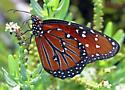 Queen - Danaus gilippus - male