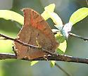 Goatweed Leafwing - Anaea andria - female