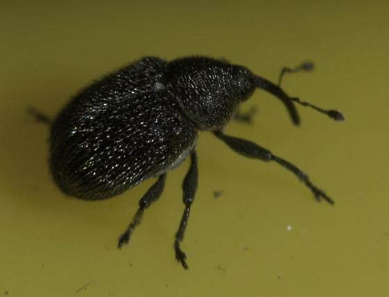 Weevil - Cleopomiarus hispidulus