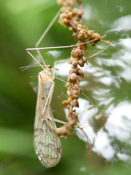 Mecoptera - Bittacus