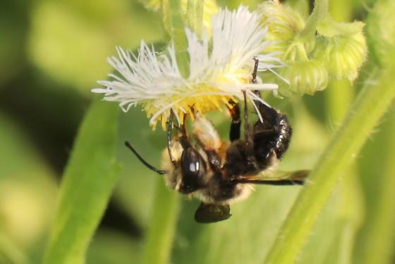 Male Megachile - Megachile xylocopoides - male