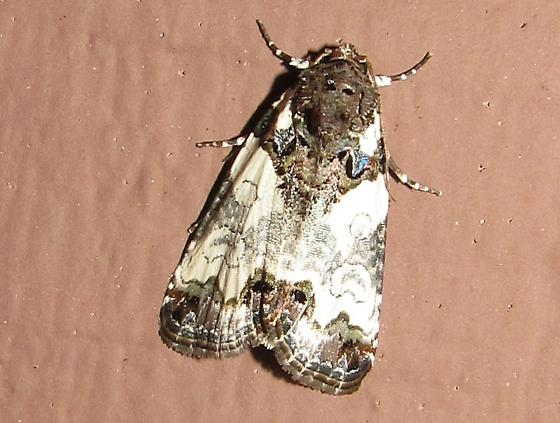 Cerma cerintha? - Tufted Bird-dropping Moth?