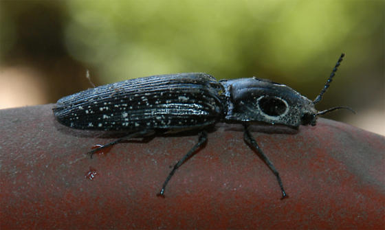 Big Eyed Beetle - Alaus oculatus