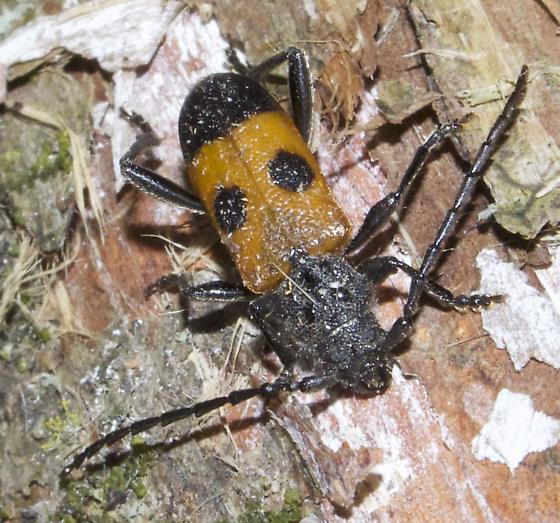 Cedar Tree Borer - Semanotus ligneus - Semanotus ligneus