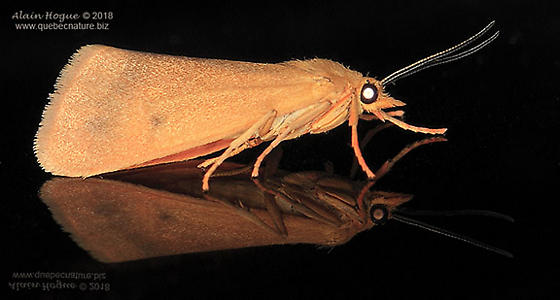 Moth - Virbia