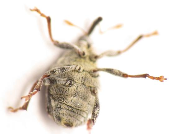 weevil - Sirocalodes siculus