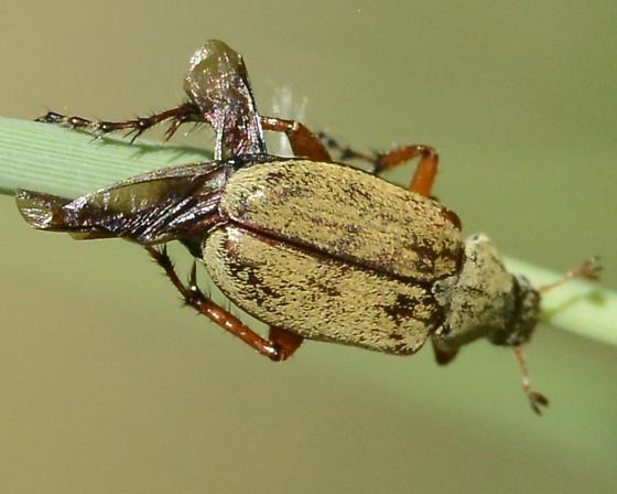 Messy Winged Beetle - Macrodactylus uniformis