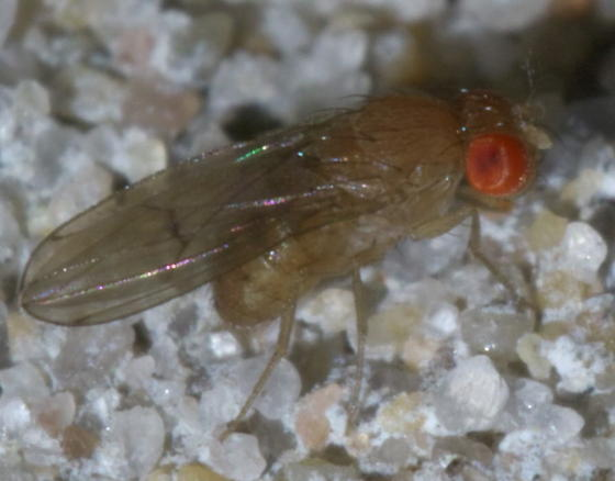 Small, pale fly with red eyes - Drosophila
