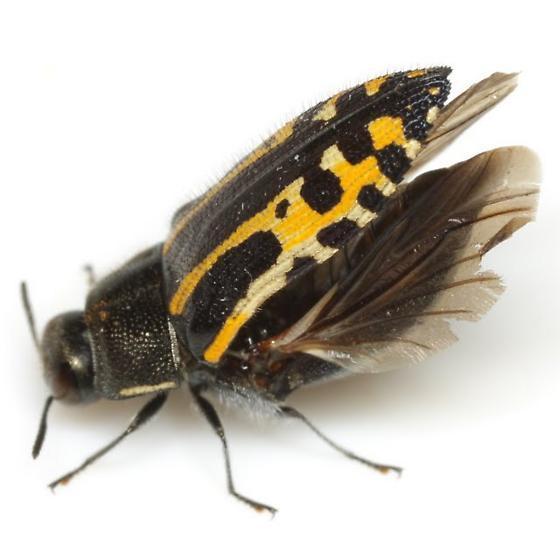 Acmaeodera scalaris Mannerheim - Acmaeodera scalaris