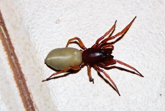 Woodlice Spider - Dysdera crocata