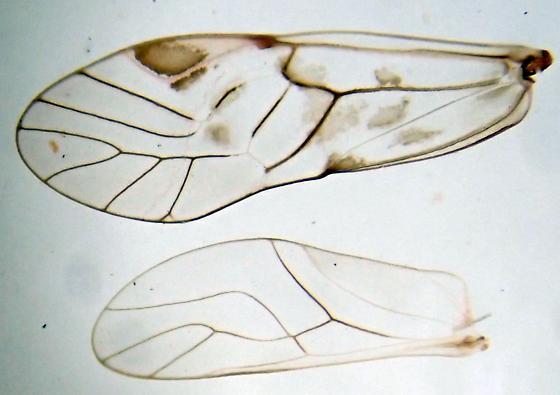 Amphigerontia bifasciata female? - Amphigerontia bifasciata